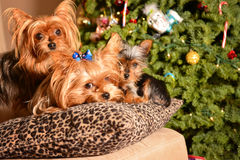 Christmas yorkshire terrier dogs. Yorkshire terrier dogs, christmas tree Royalty Free Stock Photos