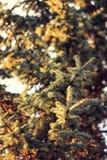 christmass树,在美好的backligh的杉树详细的看法  免版税库存照片