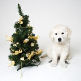 Christmass puppy. A christmass puppy stock photos
