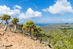 Christoffel National park palm trees Stock Image