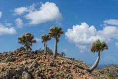 Christoffel National park palm trees Stock Photography