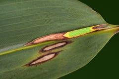 Christophi Lethe/delle larve Fotografia Stock