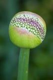 christophii рождения лукабатуна красивейшее Стоковое фото RF