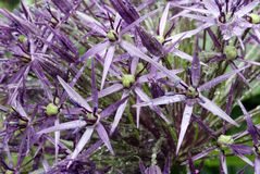 Christophii d'allium Photos libres de droits