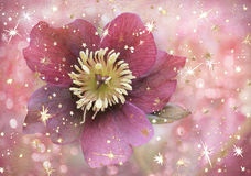 Christrose with golden stars, floral christmas background. Red christrose with golden stars, background with shiny and blurry circles, floral christmas design royalty free stock photo