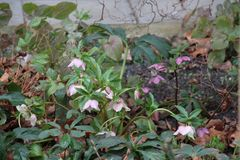 Christroses που ανθίζει σε έναν κήπο το χειμώνα στοκ φωτογραφία με δικαίωμα ελεύθερης χρήσης