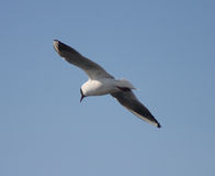 Chroicocephalus ridibundus. Black Headed Gull.  In flight royalty free stock image