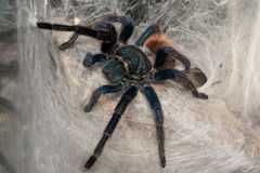 Chromatopelma cyaneopubescens adult female Royalty Free Stock Photo