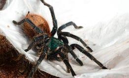 The Chromatopelma cyaneopubescens. Greenbottle Blue Tarantula sitting on web Royalty Free Stock Image