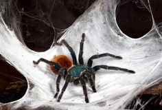 The Chromatopelma cyaneopubescens Royalty Free Stock Image