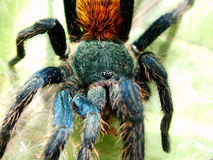 Chromatopelma cyanopubescens. A mettalic birdeater from South America Stock Photography