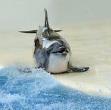 Chromed delfin royaltyfri fotografi