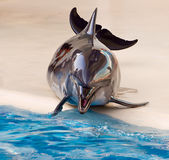 Chromed dolphin. Dolphin in dolphinarium out of water glittering as if covered with chrome stock photos