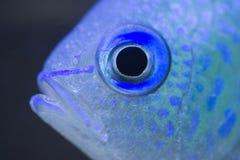 chromis绿色红海 库存照片