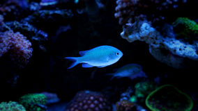 Chromis azul fotos de stock royalty free