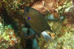 Chromis caudalis - Blue-axil chromis Royalty Free Stock Images