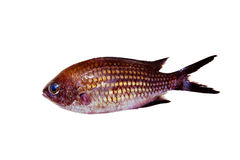 Chromis chromis Damselfish rock fish isolated Royalty Free Stock Photo