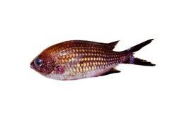 Chromis chromis Damselfish rock fish isolated. On white Royalty Free Stock Photo