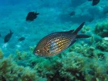 Chromis chromisDamselfish Royaltyfri Bild