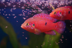Chromis cichlid with fry Stock Photography