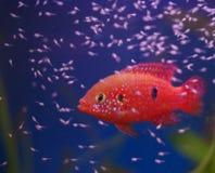 Chromis Cichlid mit Fischrogen stockbild