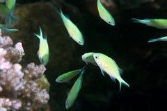 Chromis corais e azul esverdeado Foto de Stock Royalty Free