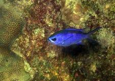 Chromis cyanea, Blue Chromi Stock Photography