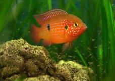 Chromis in einem Becken mit Fischrogen stockfotos