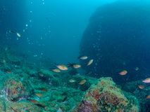 Chromis chromis som simmar ovanför fumerole, Fumose rev, Baia arkivbilder