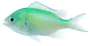Chromis verde (viridis de Chromis) Imagen de archivo libre de regalías