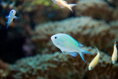 Chromis virdis Royalty Free Stock Photography