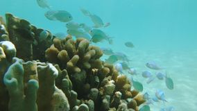 Chromis Viridis Damselfish. Close Up Underwater Shot Of A School Of Chromis Viridis Damselfish Of An Iridescent Llight Green And Blue Color In The Maldives stock video footage