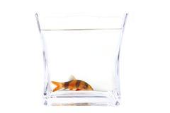 chromobotia błazenu ryba loach macracanthus Obraz Royalty Free