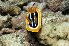 Chromodorid de pyjama (quadricolor de chromodoris). Images libres de droits