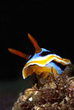Chromodoris annae Stock Image