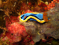 Chromodoris Annae Photo stock
