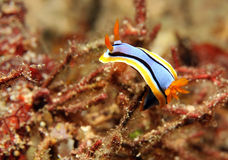 Chromodoris Annae Royalty Free Stock Photography