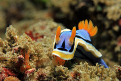 Chromodoris Annae Stock Foto