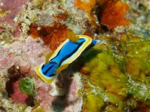 Chromodoris annae Stock Photos