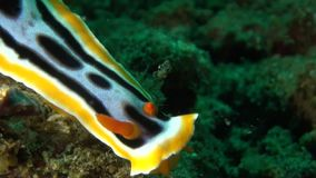 Chromodoris annae nudibranch stock video