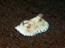 Chromodoris aureopurpurea Nudibranch 02 库存照片