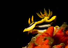 Chromodoris de Kuiter Photo libre de droits