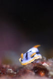 Chromodoris del lago fotos de archivo