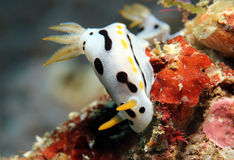 Chromodoris Dianae Photographie stock
