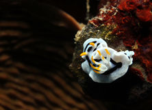 Chromodoris Dianae. Diana's Magnificent Slug (Chromodoris Dianae), Bunaken, Indonesia Royalty Free Stock Photos