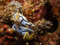 Chromodoris dianae Nudibranch, Sea Slug, mating Stock Images