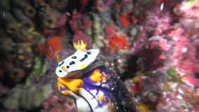 Chromodoris Dianae nudibranch on sponge stock video