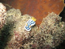 Chromodoris dianae Royalty Free Stock Images