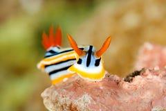 Chromodoris Elisabethina nudibranch odpoczywa na koralu Zdjęcia Royalty Free