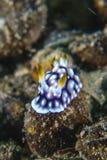 Chromodoris geométricos Foto de Stock Royalty Free